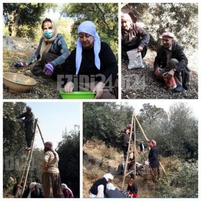 С окончанием сезона сбора оливок в храме Лалиш производство составило более 10 тонн